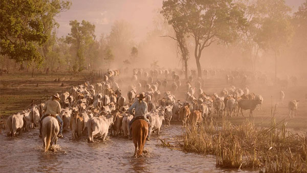 On-Cattle-Droving